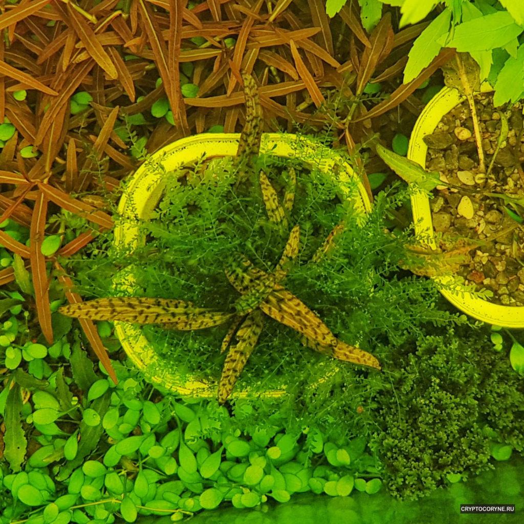 Фото криптокорины буцефаландры, вид сверху