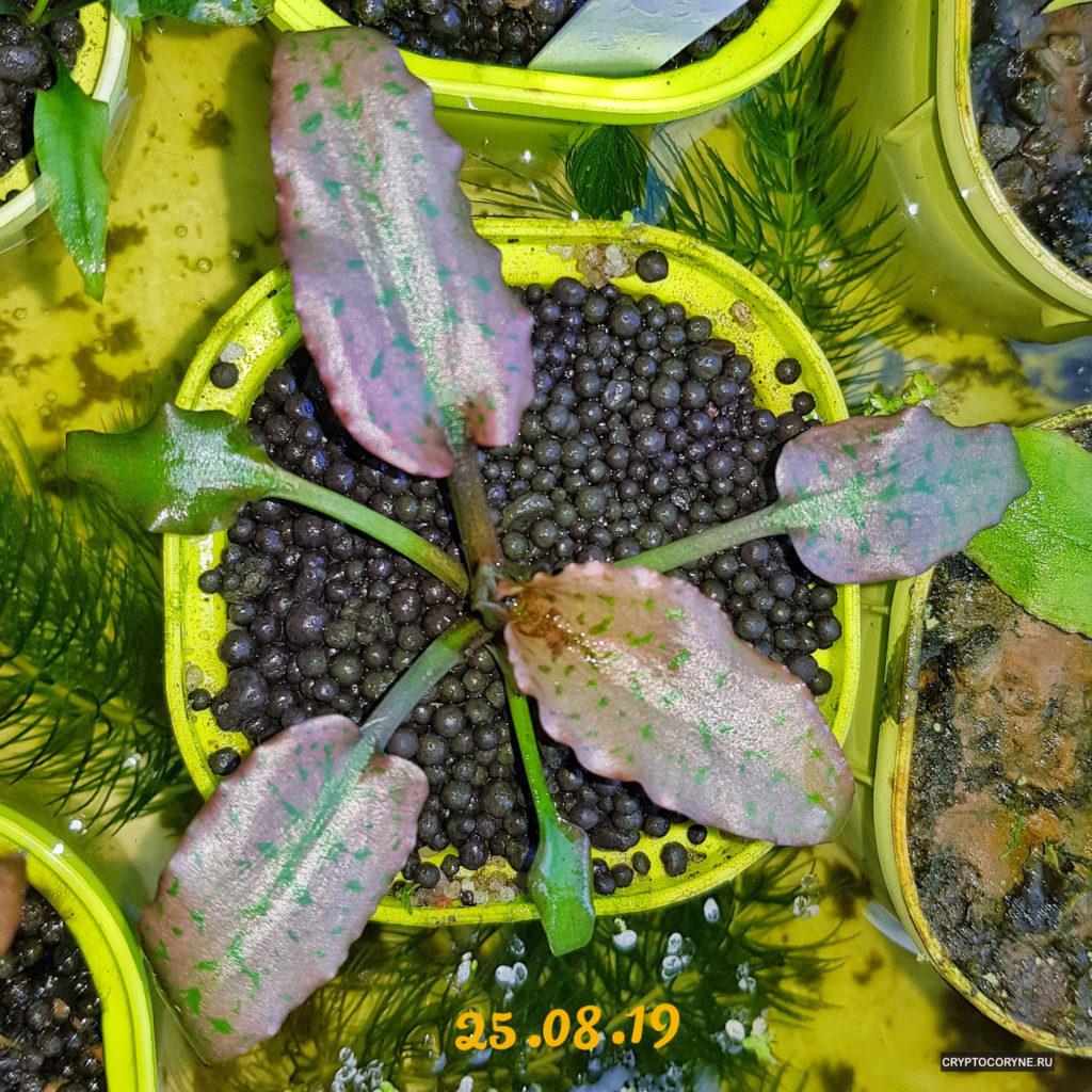 Фото криптокорины reginae silver queen