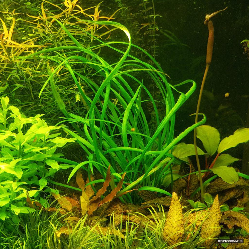 Фото криптокорины Shola Forest в аквариуме