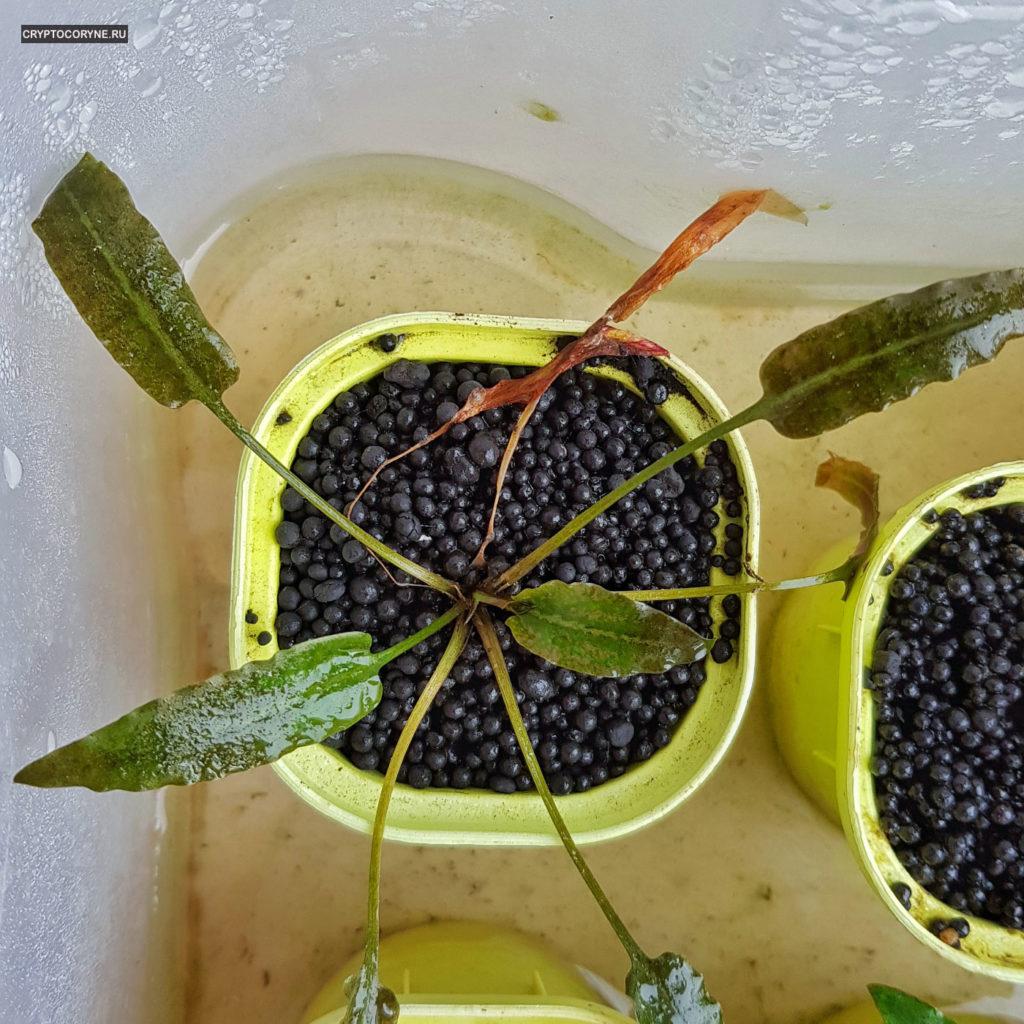 Фото криптокорины pygmaea