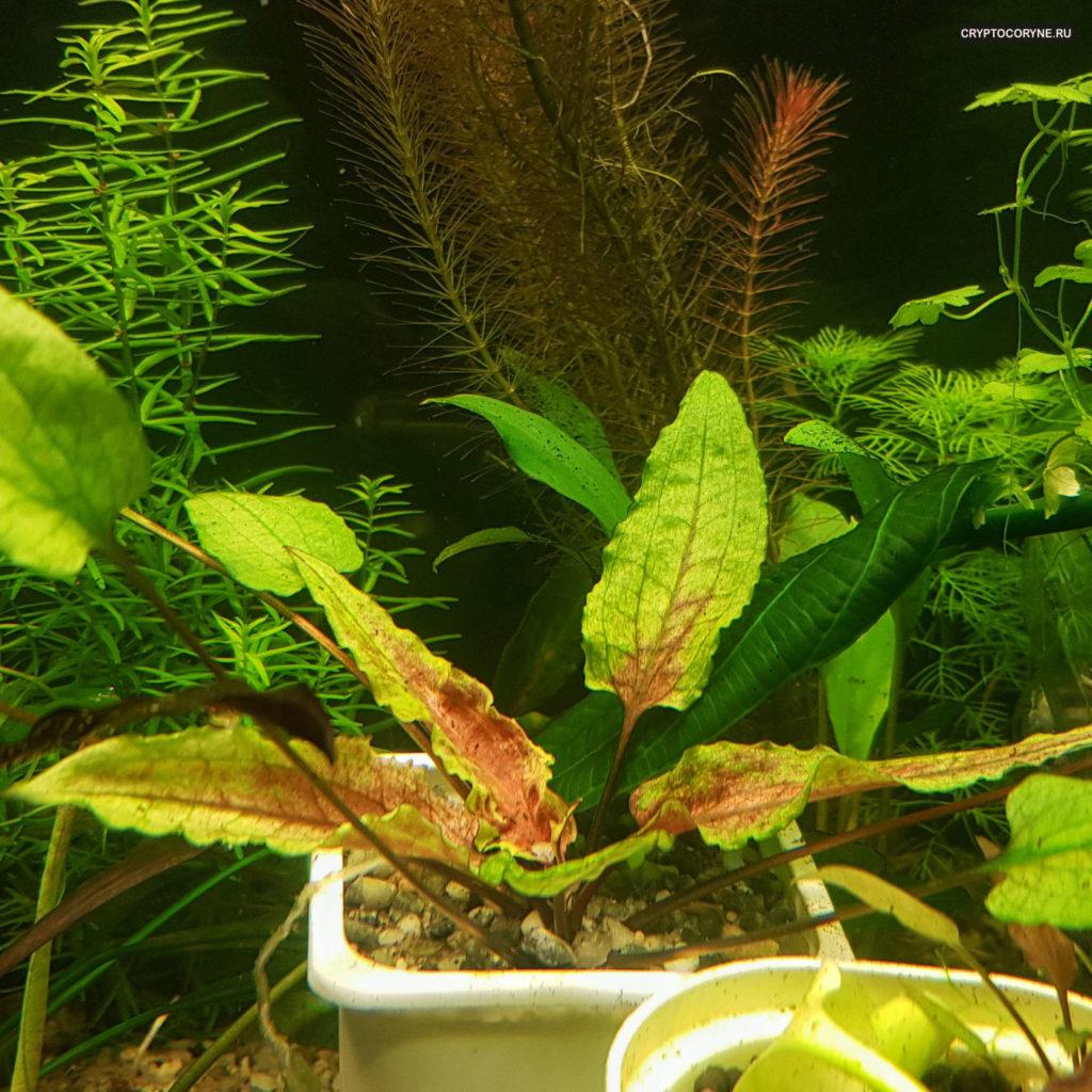 Фото криптокорины зеленый геккон
