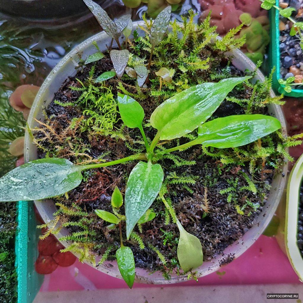 фото криктокорины Pontederiifolia