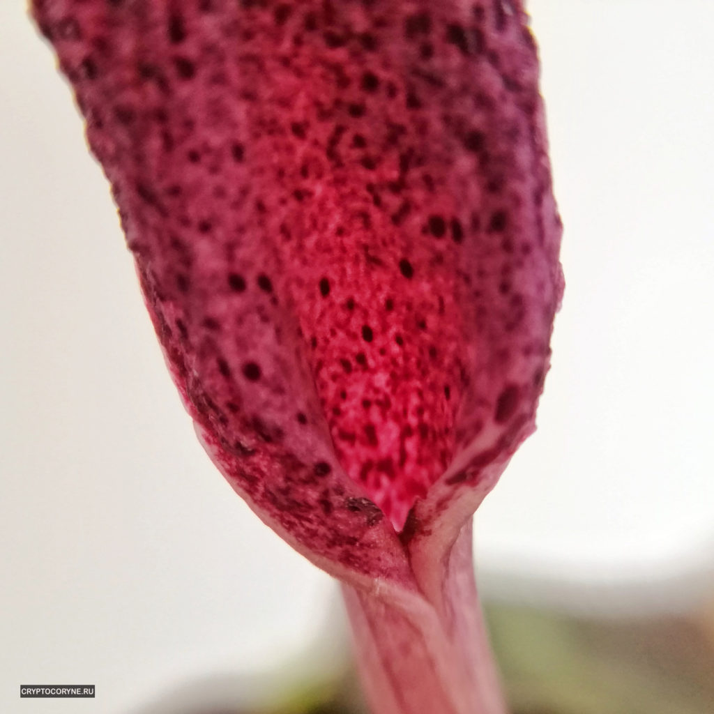 Фото цветка криптокорины Твейтса