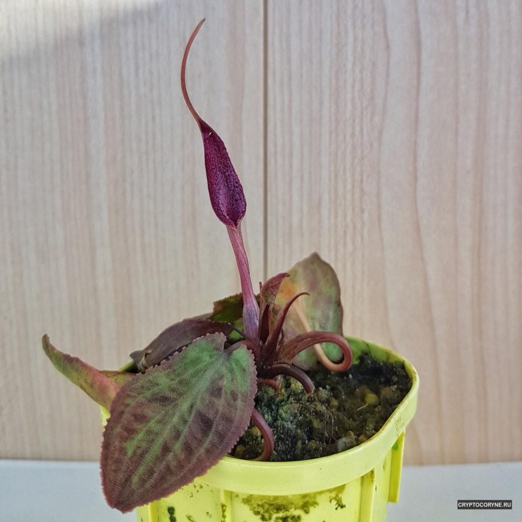 фото цветения криптокорины