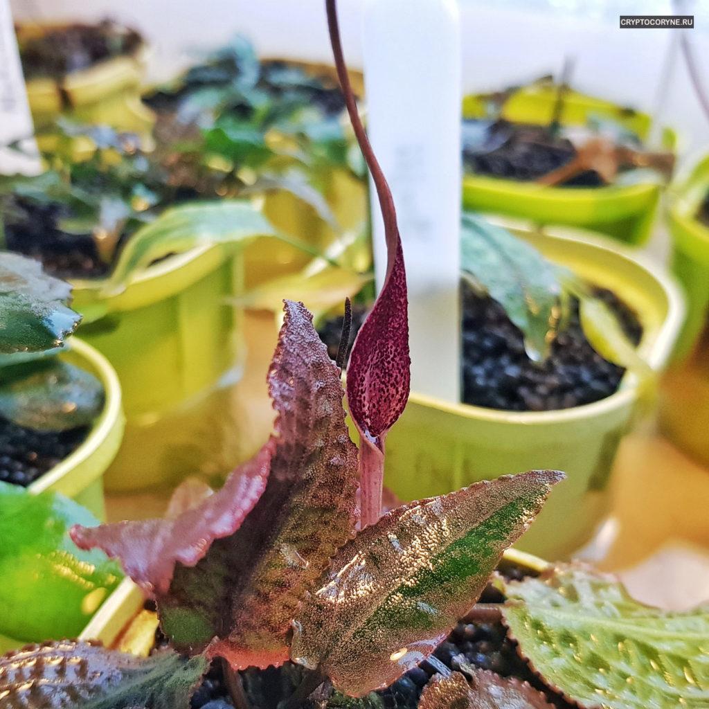 Фото цветка криптокорины Твейтса Коттава