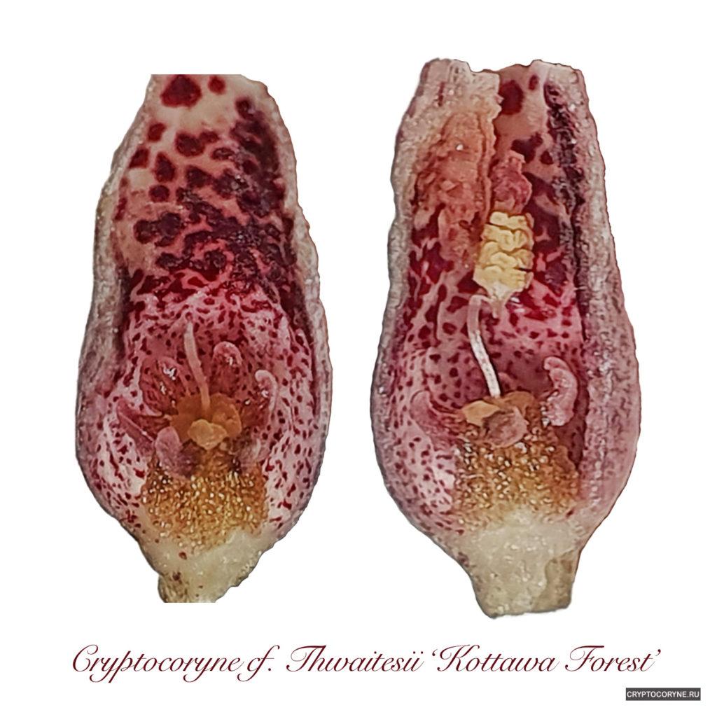 Фото цветка криптокорины твайтези в разрезе