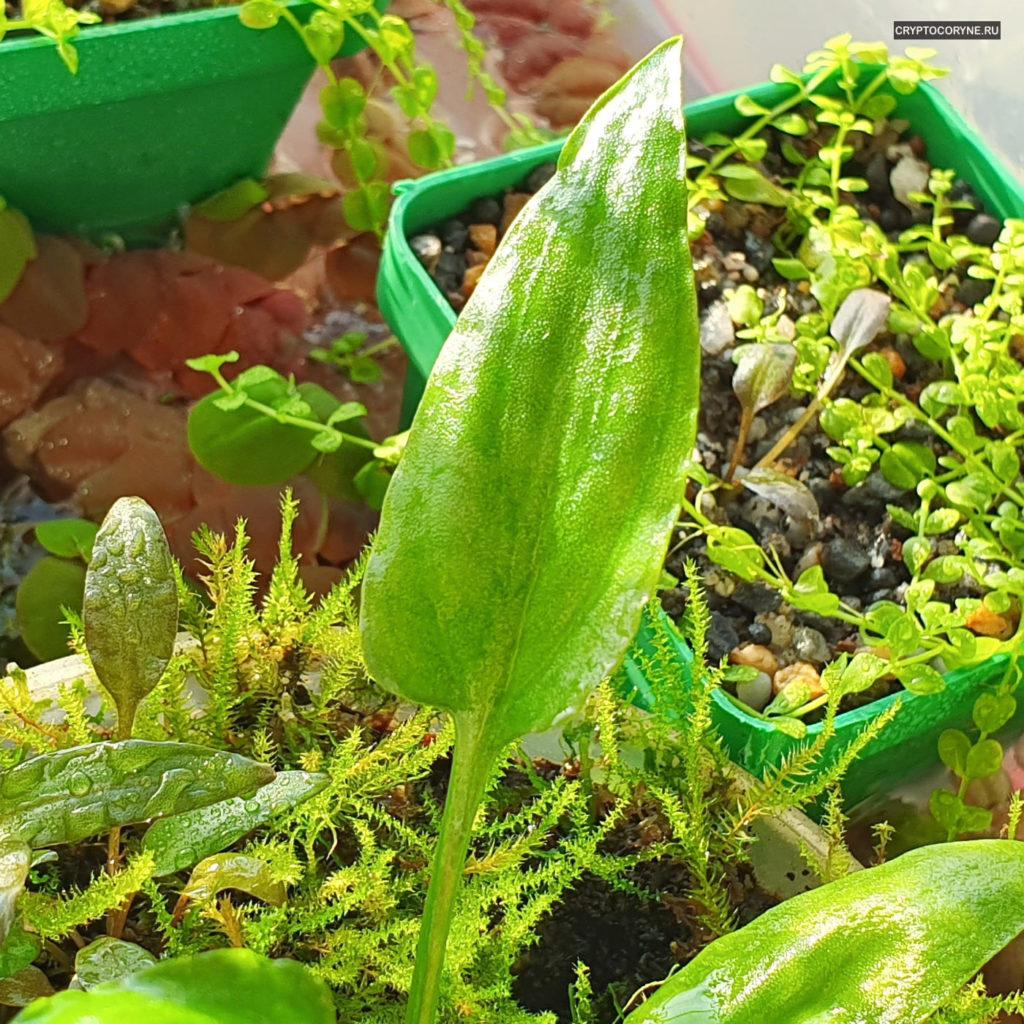 Фото крупного плана листика криптокорины Pontederiifolia