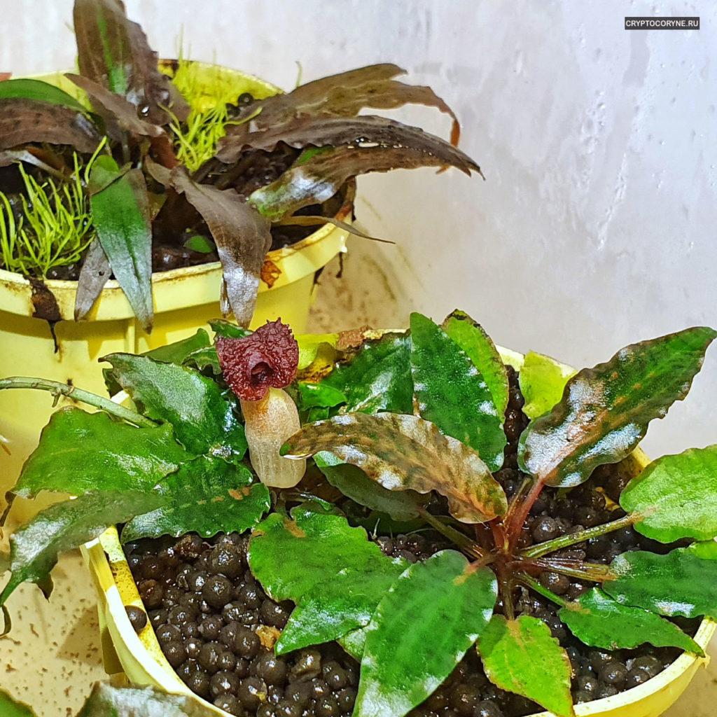 Фото цветения криптокорины Нури