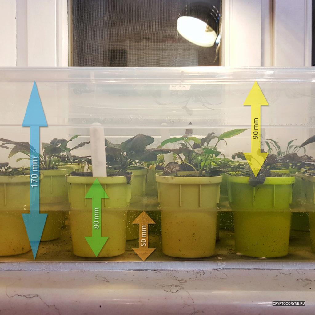 Фото показывает какой уровень воды в тепличке с криптокоринами и высоту горшочков и контейнера