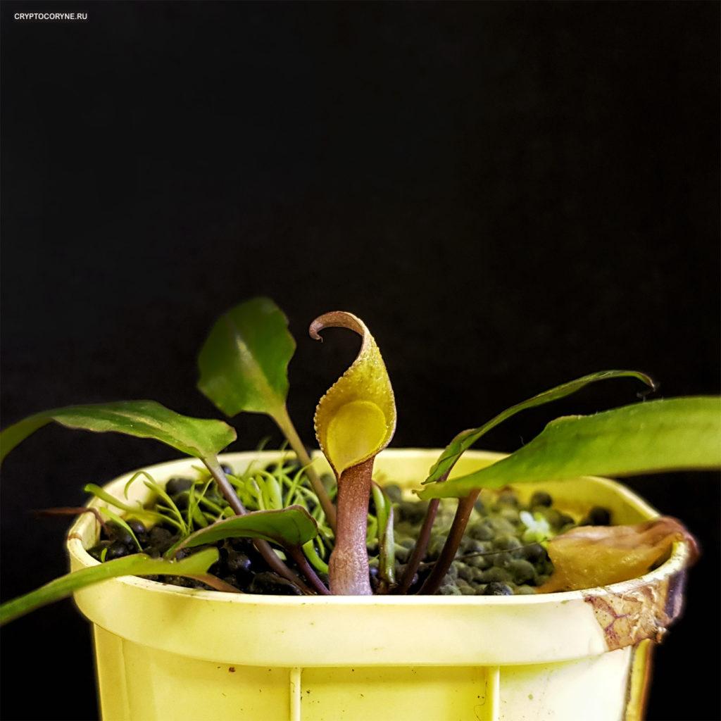 Фото цветка криптокорины Александрия